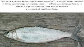 Рыба Пелядь(Рыба Пелядь., 2014-11-13T00:26:32.000Z)