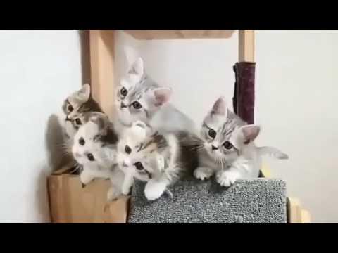 The miau miau song