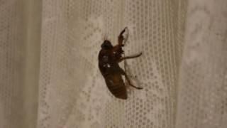 ぬけがらでなく、まだ中身が入っていて動いている蝉の幼虫を見つけた。 ...