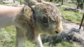 Wild baby hare