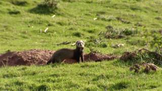 Rabbit hunting with ferrets | Shooting rabbits in Scotland - Ultimate Hunting