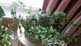 공기정화식물 아이비 키우는 방법(Hedera helix…