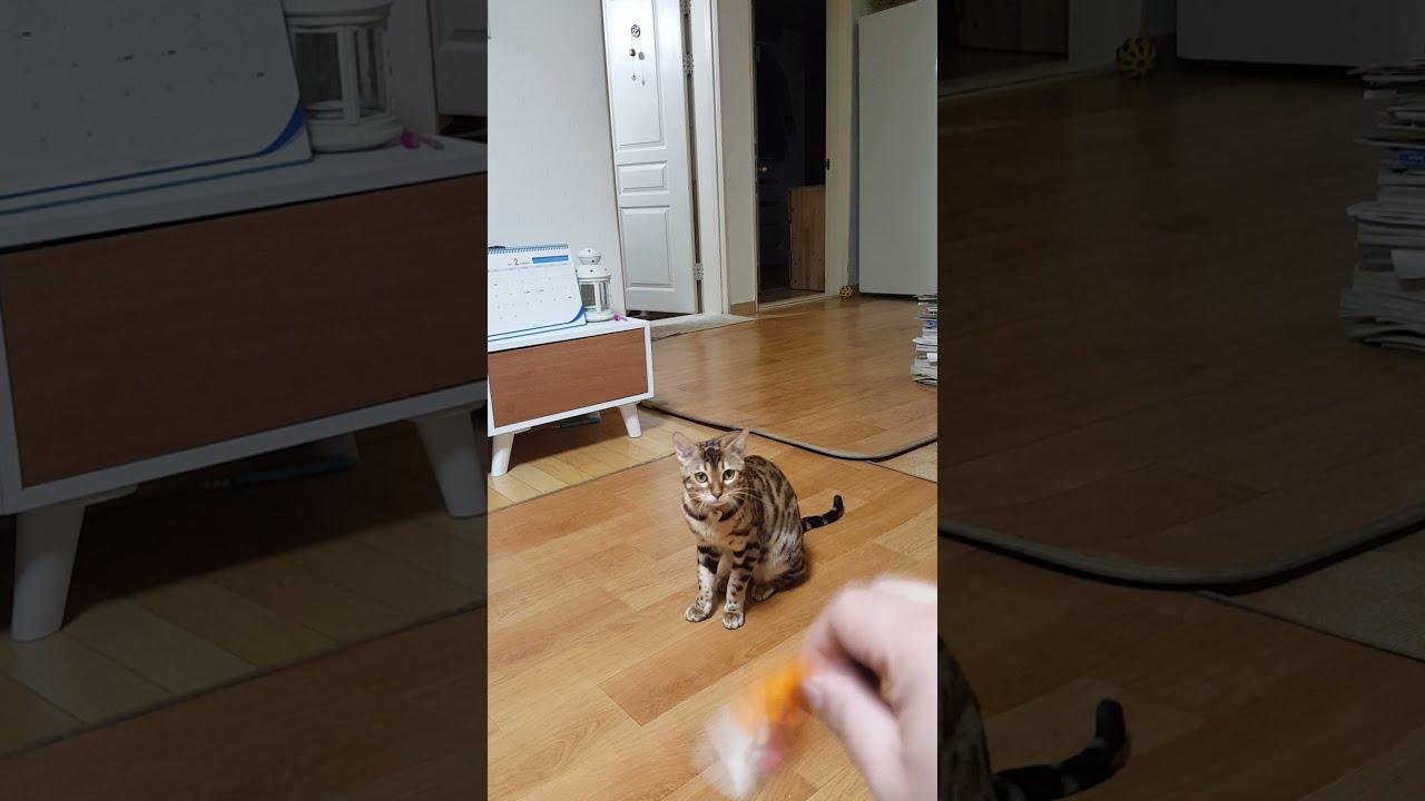고양이 똥개 훈련시키기.. 뱅갈 고양이 이름은 아랑이.. ㅋㅋㅋ 머리 좋아요..