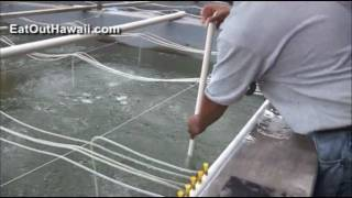 Raising Shrimp in Kahuku Hawaii