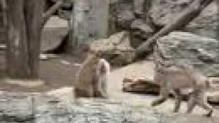 ズーラシアの猿毛づくろい
