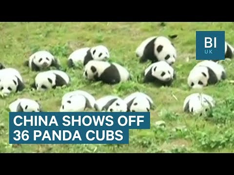 Chinese zoo shows off 36 adorable giant panda cubs