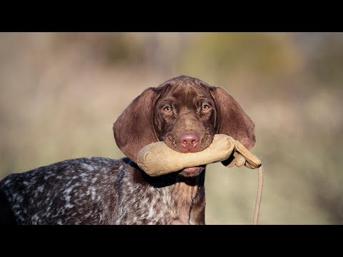 Labrador Retriever and German Shorthaired Pointer Puppy Retrieving tips!