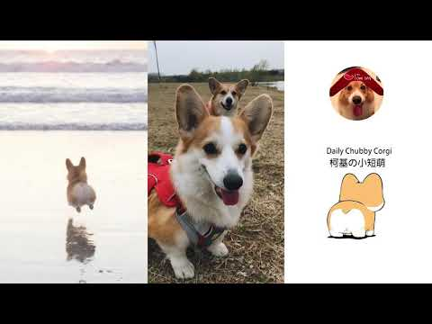 Funny Daily Chubby Corgi Dogs Cute Puppies 2019 Compilation 猫狗蠢萌合集 EP16