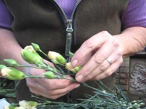 Carnations -Tips to open tight buds & test how fresh they are by Teach Me Floristry
