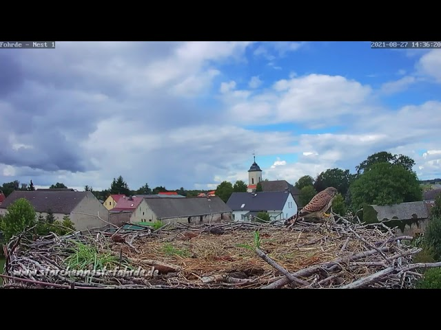 Turmfalke kommt mit Beute zum Horst 2! 27.08.2021