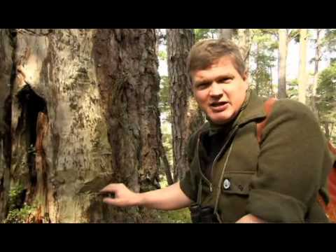 Ray Mears: Caledonian Pine Forest