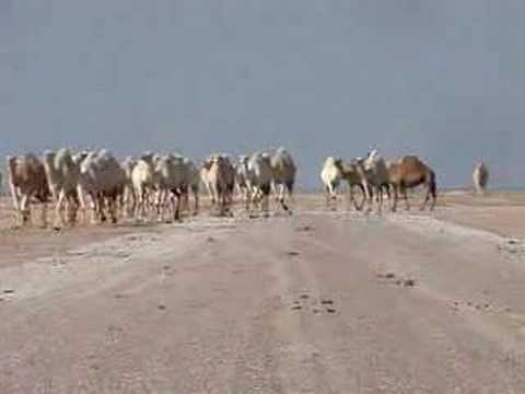 Failaka Island, the Camels
