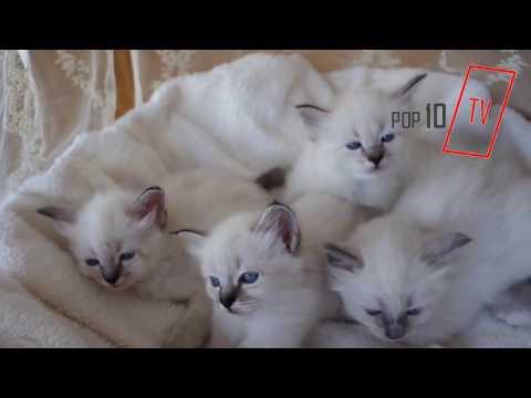 BİRMAN KEDİSİ (CATS)ÖZELLİKLERİ VE BAKIMI