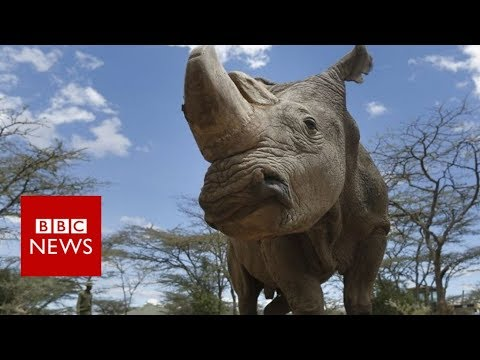 Last male northern white rhino dies in Kenya - BBC News