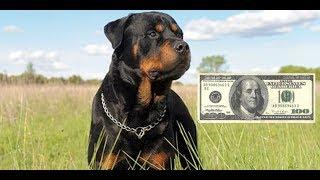 Хочу собаку, за сколько можно купить Ротвейлера??? Сколько стоит собака???