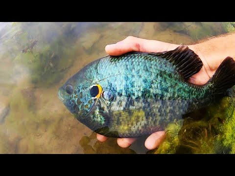 INSANE BLUEGILL & SUNFISH FISHING In CLEAR WATER!