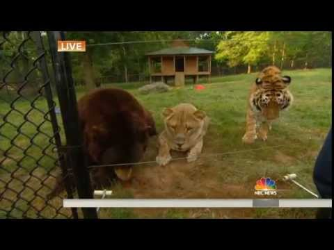 Lion Tiger And Bear Are Best Friends TODAY Com YouTube - Lion tiger bear best friends