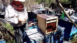 Урок пчеловодтва №1 Как пересадить пчел из пчелопакета в улей