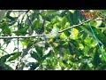 Pikat Cucak Ranting Menggunakan Jitu Master Pikat  Mp3 - Mp4 Download