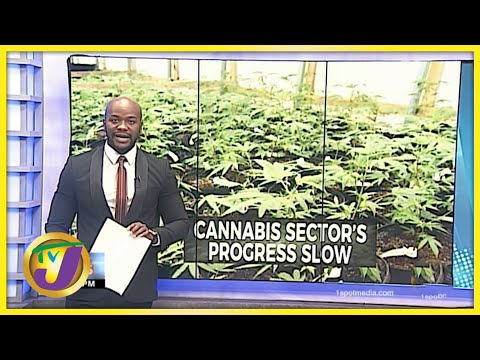 Very Slow Progress in The Ganja Industry in Jamaica | TVJ News - July 12 2021