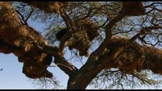 Weaver birds build gigantic compound nest   CCTV English