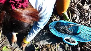 Good Video #Secret_Fish# Show A Woman Catching Fish in Mud & Catch By Hand