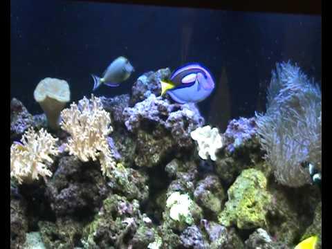 Juvenile Blueface Angel Fish