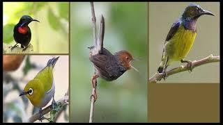 Download Kompilasi masteran burung kecil paling di cari