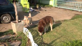 Siberian Vintage Husky Kennel - Ep.1