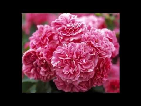 #Почвопокровные #Розы каталог1 #Питомник Антипова