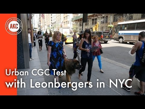 Urban CGC Test with Leonbergers in New York City
