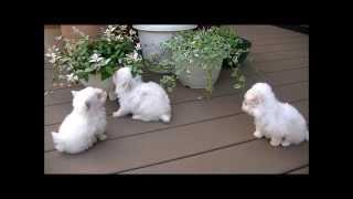 小型犬専門ブリーダー、ハーフムーンです。 自家繁殖犬を販売しています...
