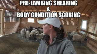 Pre-lambing shearing and body condition scoring - vlog 4