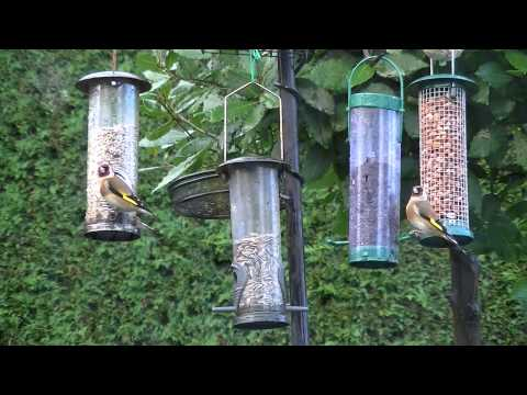 The Goldfinch and its song