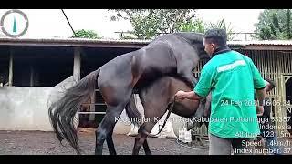 Kuda Kawin Jantan G3 Betina Kuda KPI