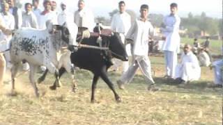 bull race in jund mehlo gujarkhan mpg