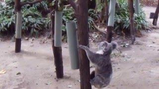 猛スピードでダッシュし、木につかまり登っていくコアラ。普段はナマケ...