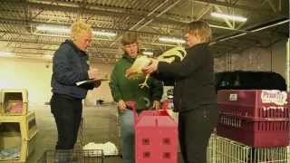 Rooster Rescue: Rehabilitating birds after major cockfighting ring bust thumbnail
