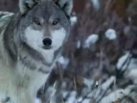 Didier Euzet - White Wolf (314).