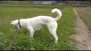 紀州犬との散歩。どうぞご覧下さい。