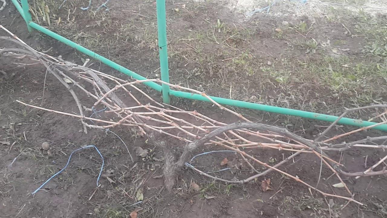 последний полив винограда перед зимой