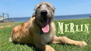 5mo Irish Wolfhound (Merlin) Best Dog Trainers in Alabama