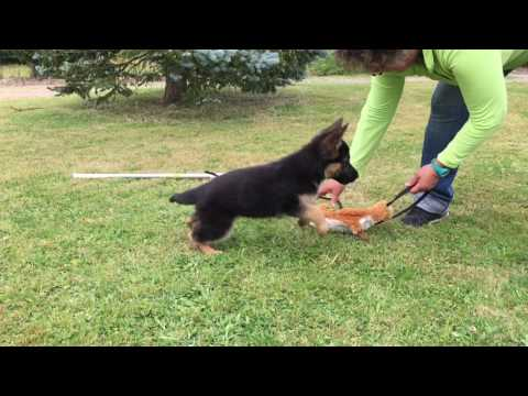 EDUCATION CHIOT BERGER ALLEMAND POIL COURT POIL LONG