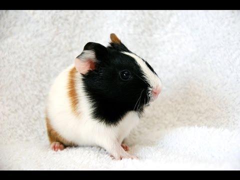 Guinea Pigs Respiratory Problems Youtube