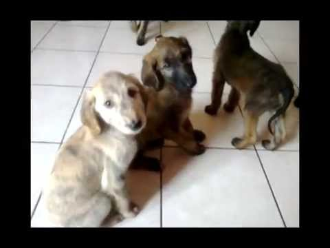 Vendita cuccioli di Levriero Afgano