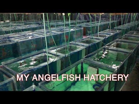 MY ANGELFISH HATCHARY