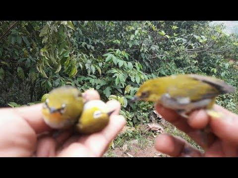 mikat burung pleci menggunakan mp3 mantap jitu and joss