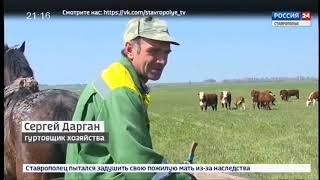 Дмитриевские племенные герефорды ставропольского края агровести