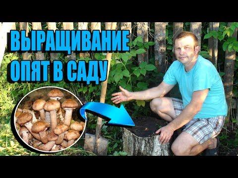 Вопрос: Домашняя грибница Опята за 990 рублей, реклама по ТВ – какие отзывы?