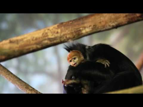 Endangered Francois' Langur Born at Lincoln Park Zoo